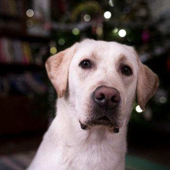 Toisen koiran hankinta