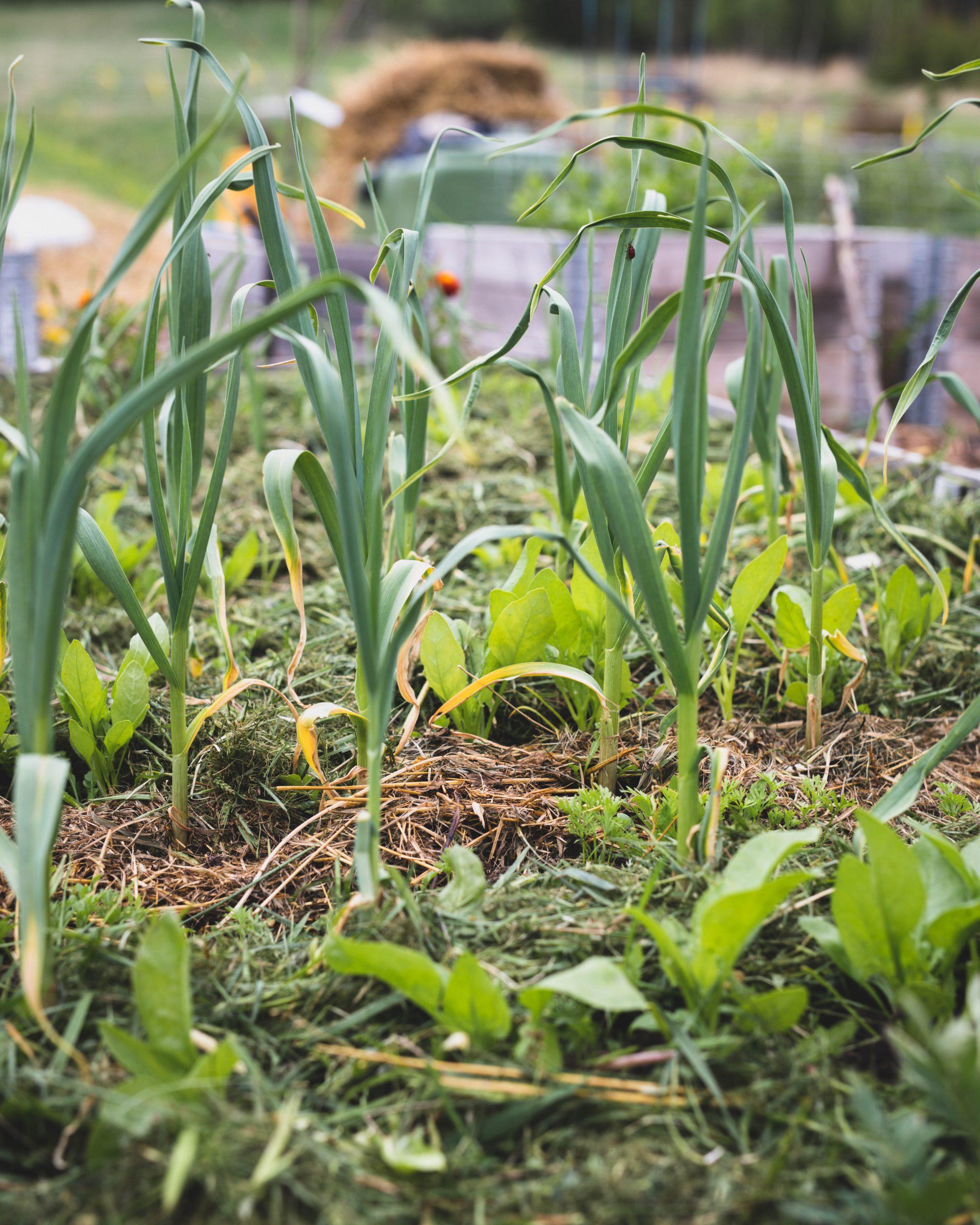 Kateviljely sopii omavaraistelijan puutarhaan